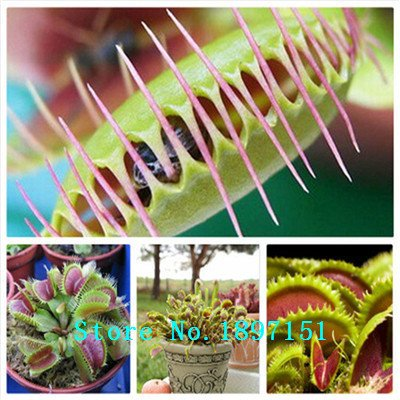 Vente de graines Big Dionaea géant clip Venus Fly Trap Graines 300pcs graines de fleurs