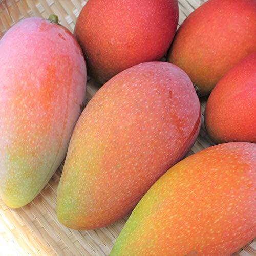 沖縄県産フルーツ 濃厚完熟アップルマンゴー贈答用 2kg