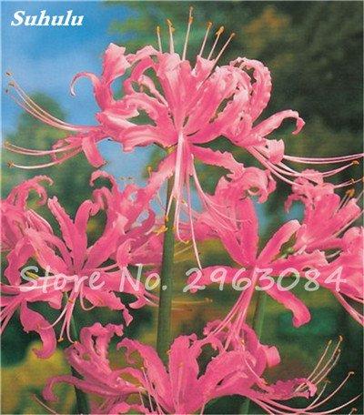 Big Sale! 100 Pcs Red Lycoris Graines Plante en pot Lycoris Radiata Graines de fleurs Plantation vivace intérieur Fleurs Bonsai Graine de plantes 2