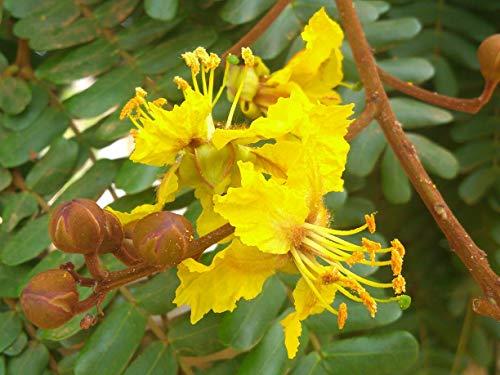 Yellow Flamboyan Royal Poinciana Delonix Regia Bónsai TrẹE Exotic SéẹD 50 SéẹDs Seeds_Easy_Grow