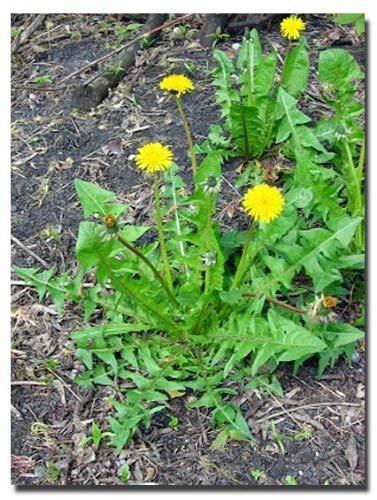 begorey Garten - Wild Löwenzahnsamen, Taraxacum, 50 Stk. BIO Löwenzahn Samen Taraxacum officinale Heilkraut für Wildkräutersalat, Tee
