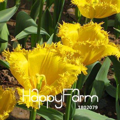 100% germination 2 Pcs véritables bulbes de tulipes, bulbes de fleurs de tulipe arc en ciel, (non tulipe graines), plantes fournitures de jardin, fleurs rares 15