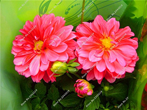 Jardin Mary Flower Seed, Mini Dahlia Bonsai Fleur plantes en pot, la croissance naturelle, Importation multi couleur de la fleur italienne 100 Pcs 16