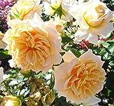 'ERDINGER Weißbräu Rose'
