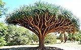 Tree Seeds 10 pcs Canary Island Dragon Blood Tree (Dracaena Draco) Showy,Exotic,#FIVML3
