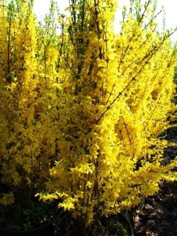 Forsythie Forsythia x intermedia Lynwood 80 cm hoch im 3 Liter Pflanzcontainer