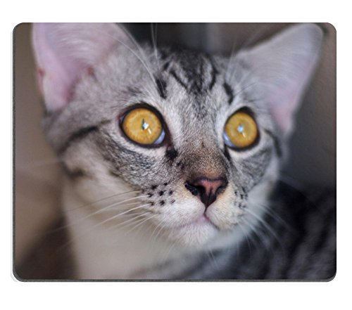 Goobull Luxlady Gaming Mouse ID: 44149508 Close Up Muso di American Short Haired Cat with Big Eyes Selective Focus