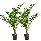 Phoenix 'Canariensis' | Kanarische Dattelpalme pro 2 Stück - Freilandpflanze im Aufzuchttopf ⌀19 cm - ↕80-90 cm