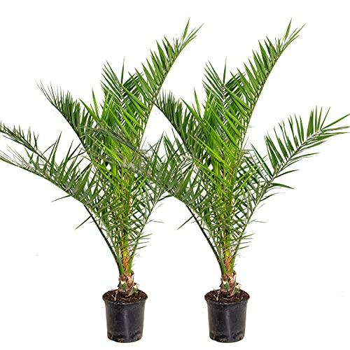 Phoenix 'Canariensis' | Kanarische Dattelpalme pro 2 Stück | Winterhart - Freilandpflanze im Aufzuchttopf ⌀19 cm - 80-100 cm