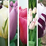 Collection 'Top 5' de Tulipes - 50 Bulbes Vivaces
