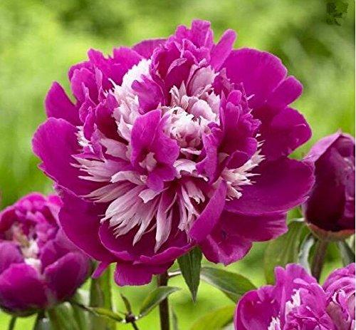 10pcs/sac de graines de pivoine, jaune, graines de fleurs de pivoine rose chinoise belles graines de bonsaï plantes en pot pour le jardin de la maison 1