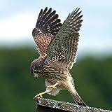 lunaprint Beautiful Juvenile Kestrel Falco Bird Portrait