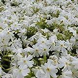 6 x Phlox Subulata 'Calvides White' - Perenni Vaso 9cm x 9cm