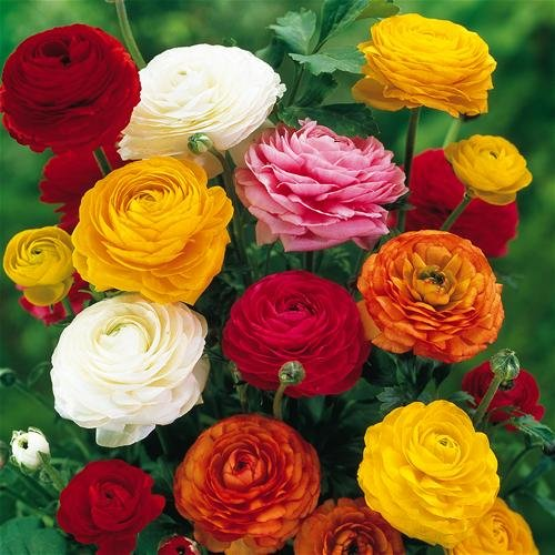 Ranunculus Mix, 10 Bulbs,make brilliant cut flowers and look stunning in borders and containers!