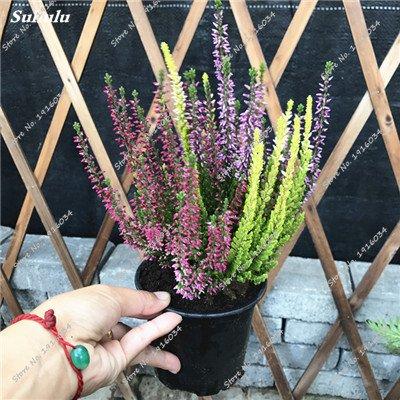 Happy Farm gypsophile Etoiles Sky Seed Hybrids Flower Seed jardin décoratif Aménagement paysager, Plante vivace Fleur 150 Pcs 6