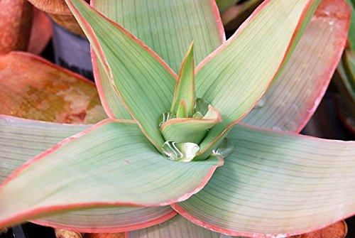 ALOE STRIATA corail jardin exotique plante succulente désert de cactus rares graines 10 GRAINES