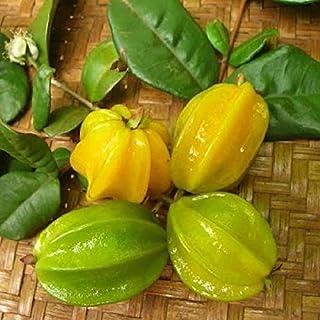 ~PITANGATUBA~ FRUIT TREE Eugenia selloi neonita STAR CHERRY Live Sml Pot`d Plant