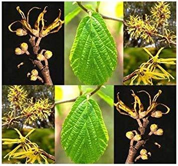 GETSO Samen-Paket Nicht Pflanzen: 4 Packs X 10 Hamamelis Seed - Hamamelis NA Seeds - Zaubernuss - Duftende gelben Blüten - Hardy Zone 4 -