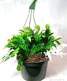 """White Christmas Cactus Plant -Zygocactus - 8"""" Hanging Basket"""