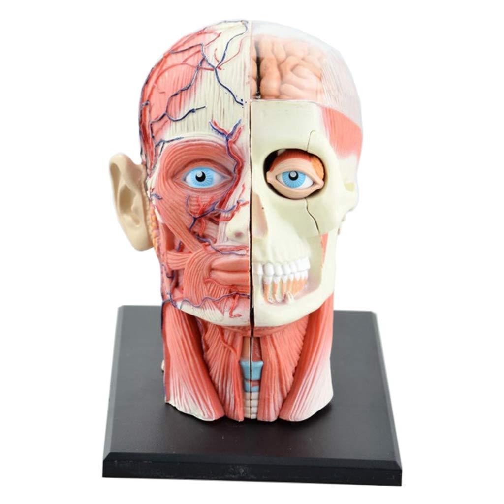 LUCKFY 4D Vision人体头部解剖模型-颅脑解剖模型-12件可拆卸头部益智玩具医学教学工具