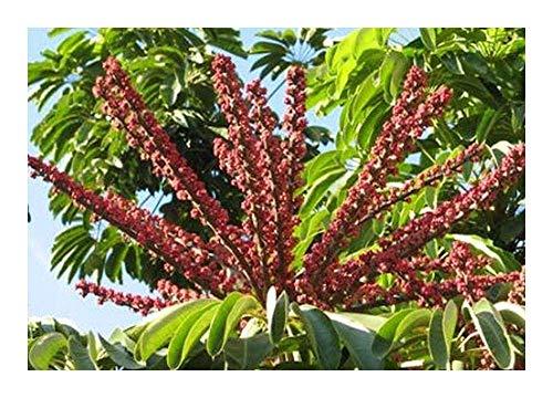Shop Meeko Schefflera actinophylla - Ombrello - 20 Semi