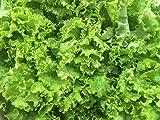 250 Graines de Laitue Batavia - légumes ancien salade - méthode BIO