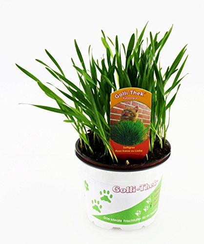 Golli-Thek Katzengras Soft - Weizengras - Futterweizen - Triticum