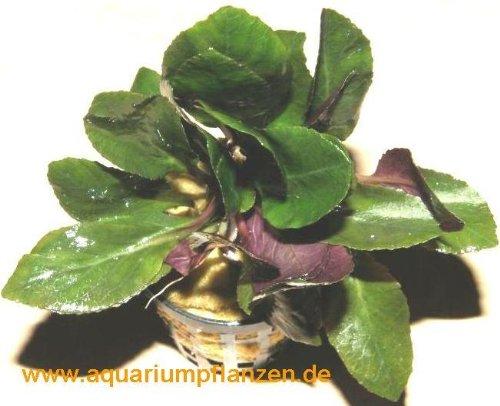 15 Töpfe Lobelia cardinalis, scharlachrote Lobelie