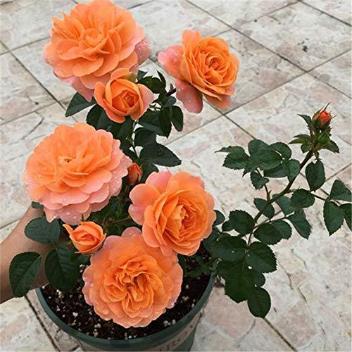 Holiday Princess Rose Samen 100+ (Rosa rugosa Thunb) Easy Grow Bio-Blume Hochwertige Pflanzensamen zum Pflanzen im Garten im Freien