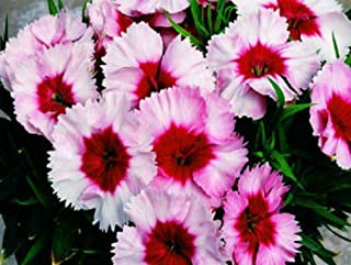 Cheap Fresh Dianthus Seeds Super Parfait Strawberry Pelleted Get 50 Seeds Easy Grow #MRB01YN