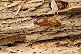 money saving Organic Insect Termite Repellent Seeds for Wood, Home, Wall, Garden, Lawn