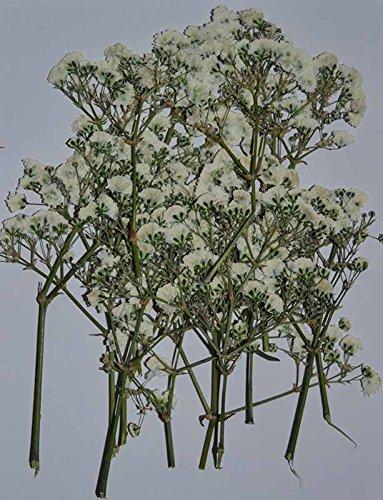 HANDI-KAFU Fiore bianco con rami veri fiori secchi pressati