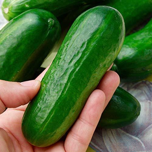 Qulista Samenhaus - Bio Gurkenpflanze Iznik F1 lecker Knackige Fingergurke | Snack-Gurken Gurkensamen Gemüsesamen Winterhart mehrjährig, Mini-Cocktailgurke für Balkon und Terrasse