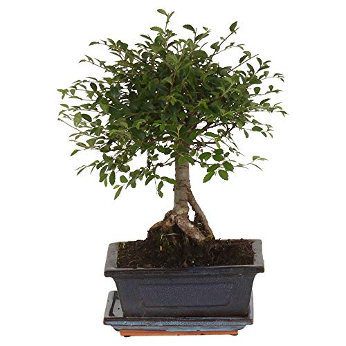 Zelkova serrata | Japanische Zelkove | Bonsai Baum inkl Ziertopf Keramik | Höhe 25-30cm | Topf-Ø 15x8cm
