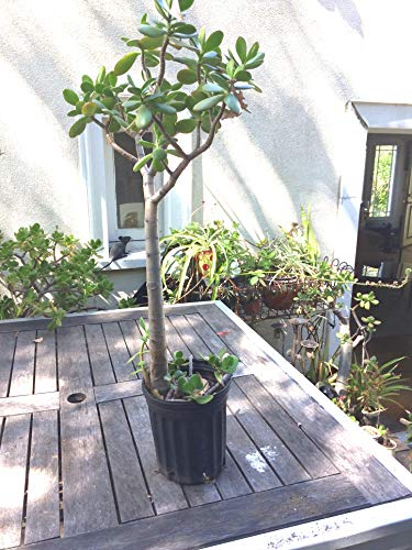 Large Jade Plant, at Least 1/2 inch Thick, Rooted, at Least 12 inches Tall