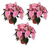MoreLIPS® - Weihnachtsstern - Set bestehend aus 3 Pflanzen - Farbe: Rosa - dunkelgrünes Laub - Höhe 30 cm - Durchmesser: 13 cm - Your Green Present