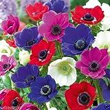 20個のアネモネ球根 - ピンク、紫、白、フシア、赤の混合色、サイズ6/7