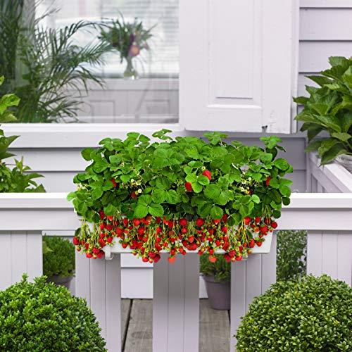 10x Fragaria x Ananassa - Balkontopf hängend - Erdbeerpflanzen Balkon - Erdbeeren Pflanzen - Übertopf weiß