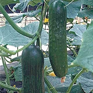 cucumber beit alpha f1