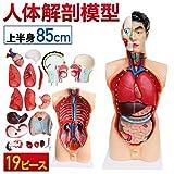 人体解剖模型 上半身 85cm 3/4スケール 標本 リアル造形 フィギュア 医療従事者 解剖学 内臓取り出し可能 19ピース