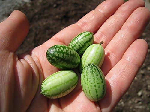 Melon Souris - Cucamelon - 20 graines