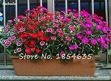 Inde importation Œillets Seed Dianthus caryophyllus Embellir et de purification d'air bricolage jardin Plantation maman cadeau 120 Pcs 8