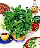 Vistaric 500 Unids Semillas de menta verde Comestibles Gato Menta Balcón Semillas de césped Ventas al por mayor Cat Snack Home Garden Hierba Planta de interior Bonsai verde 1