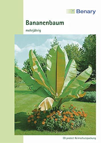 Bananenbaum, Musa ensete, ca. 5 Samen