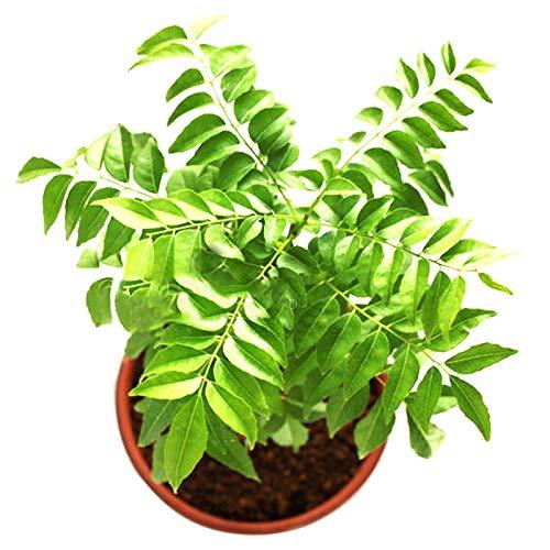 Semillas de curry, 100 piezas / bolsa Semillas de curry Productivas y fáciles de cultivar Planta de hojas Especias indias Flovor Semillas de alimentos para jardín