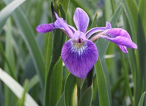 Wasserpflanzen Wolff - Iris setosa - Alaska Schwertlilie - Borstenschwertlilie, blau-violett