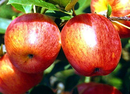 Apfel Rebella Busch im 7,5 l Topf, 60 cm Stammhöhe
