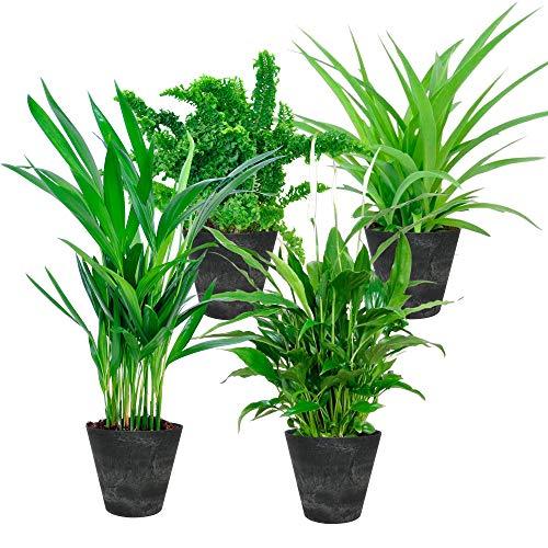 Set di 4 | Piante da interni purificatrici daria | Quattro piante in vaso verdi | Fioriera Artstone nera | Altezza 25-30 cm | Vaso-Ø 12 cm