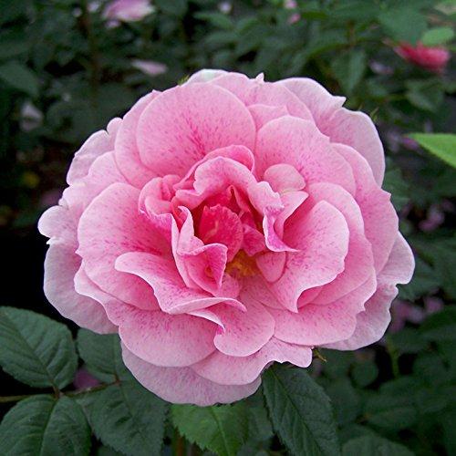 "Kletterrose ""Camelot®"" - rosa blühende, duftende ADR-Topfrose im 6 L Topf - frisch aus der Gärtnerei - Pflanzen-Kölle Gartenrose"