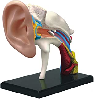 Famemaster 4D-Vision Human Ear Anatomy Model